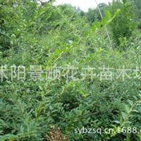 供应大量连翘树苗连翘小苗绿化苗木