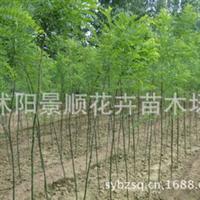 供应优质国槐小苗规格齐全附国槐小苗栽培技术