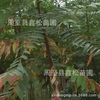 供应火炬树/规格齐全,品质保证,降价处理苗圃自产陕西火炬树