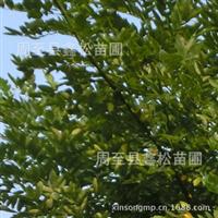 供应国槐树/西北最大的绿化苗繁育基地出售优质的国槐小苗
