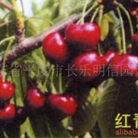 【厂家直销】供应红青樱桃树~