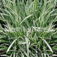 供应园林道路绿化地被类苗木花叶燕麦草