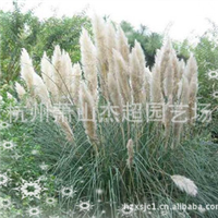 大量供应园林景观工程绿化水生植物蒲苇