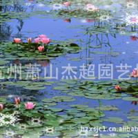 大量供应水生植物睡莲