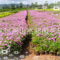 供应园林地被类绿化植物红花酢浆草