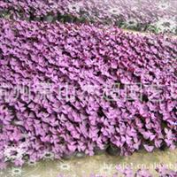 供应园林绿化地被类植物紫叶酢浆草