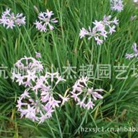 苗圃直销道路地被类草花紫娇花