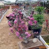 供应红宝石海棠树