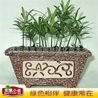 台湾罗汉松罗汉松罗汉松苗小盆栽观叶植物