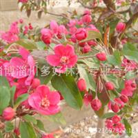 紫丁香丁香种子绿化苗淄博苗木绿化工程苗木