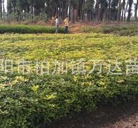 苗圃大量销售高30-50公分高的四季桂、佛顶桂,货源充足