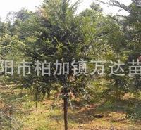 长期供应胸径2-6公分的湖南红豆杉苗木,红豆杉小苗批发价格