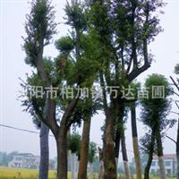 专供:湖南朴树,胸径15-25-35-40公分朴树苗木,移栽朴树