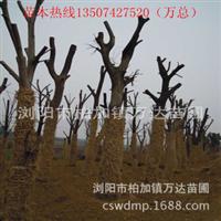 低价供应各种大规格的原生朴树,实生朴树,落叶乔木大朴树