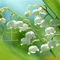 铃兰花苗铃兰种子铃兰种球来自法国的国花