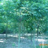 供应乔木绿化苗木行道树5-10公分无患子