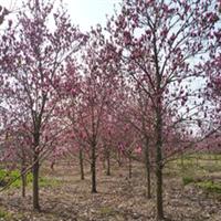 供应绿化苗木红玉兰地径10-20公分红玉兰
