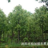 长年低价销售各种大小规格香樟香樟树香樟苗