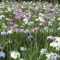 水生植物、水生花卉、水生菖蒲、菖蒲、菖蒲花供应
