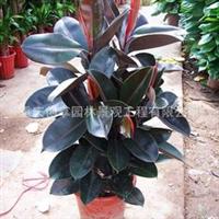 重庆植物/重庆花卉/重庆植物出租/植物/花卉/重庆橡皮树