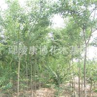长期供应优质三角枫五角枫优美绿化工程乔木各种规格三桷枫批发