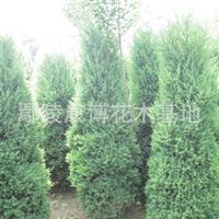 供应鄢陵苗木优质2米高一级河南桧柏刺柏桧柏球规格齐全