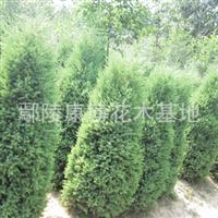 大量处理工程绿化苗木优质河南桧柏北京桧柏刺柏塔柏
