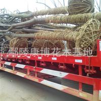 大量供应4-5-7-10-18公分栾树乔木移栽全冠精品黄山栾树苗木