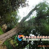 低价供应乔木《榉树》现货供应绿化苗木《朴树》等乔木
