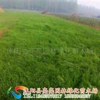 供应高羊茅草坪、狗牙根草坪、黑麦草草坪