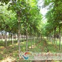 供应栾树、栾树小苗、3-12公分栾树、栾树种子等绿化苗木