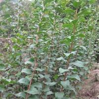 供应绿化苗木乔木紫薇小苗高80公分以上