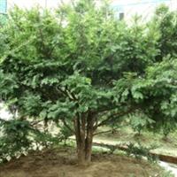 销售东北红豆杉绿化树/红豆杉工厂绿化树