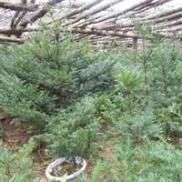 销售红豆杉占地苗/红豆杉籽播苗/红豆杉扦插树头/红豆杉盆景