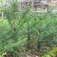 销售紫杉/赤柏松/红豆杉苗/东北红豆杉苗
