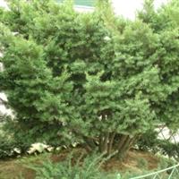 供应红豆杉绿化苗/红豆杉树苗/红豆杉工程用苗木/红豆杉绿化树