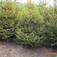 低价供应河北绿化工程苗木云杉,雪松等各种灌木300株