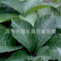 大叶黄杨供应,各种优质绿化灌木,乔木大量供应。
