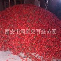 供应优质红叶小檗种子