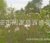 供应绿化苗木营养钵连翘苗,甘肃连翘,大田连翘苗专供