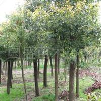 供应海宁产优质香樟风景树朴树香樟小苗移栽香樟