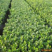 供应绿化苗木,大叶黄杨,大叶黄杨球,万年青,四季青
