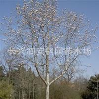 常年供应移栽全冠8-15落叶绿化苗木(乔木)----白玉兰