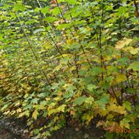 供应彩叶树苗美国红枫