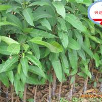 兴达苗木专卖—高产芒果苗
