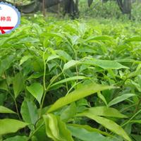 海南本地实生沉香苗大量供应---兴达苗木基地