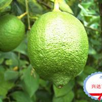 大量低价供应嫁接柠檬苗----兴达热带果苗基地
