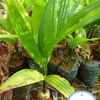 海南优质槟榔苗基地