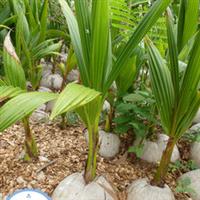 基地直供海南优质椰子苗