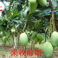 热带果苗基地----低价大量供应优质高产芒果苗